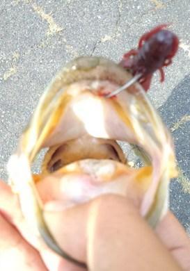 �@ 琵琶湖で釣れるカラーは.jpg