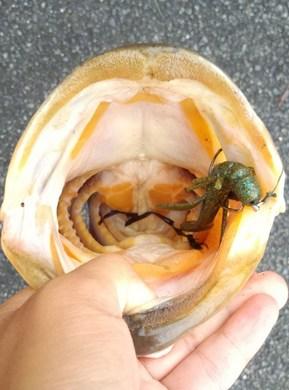 オカッパリでロクマル釣れる 9月14日.jpg