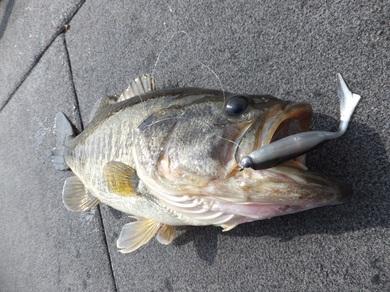ジグヘッドで釣れる ジャスターフィッシュ55 4月25日.JPG