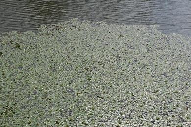 ヒシ藻.JPG