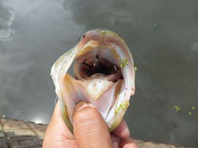三重の野池で釣れるワーム.JPG
