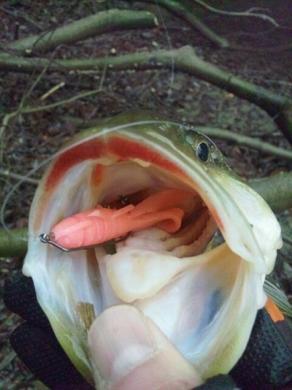 冬の野池オカッパリで釣れるジャスターホッグ33.jpg