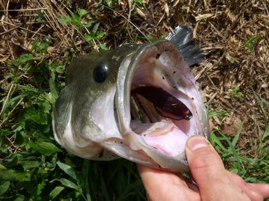 東幡野池で釣れるジャスターフィッシュ55.JPG