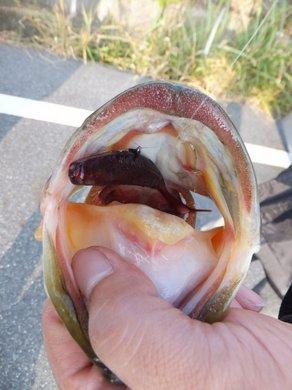 琵琶湖のオカッパリで釣れるジャスターフィッシュ.jpg