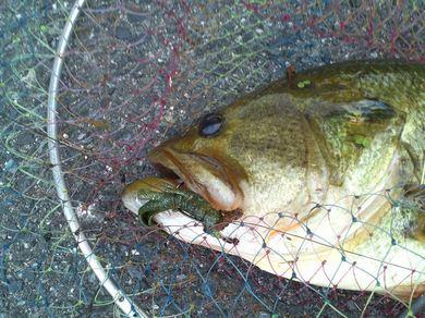 琵琶湖オカッパリで釣れる 7月23日.JPG