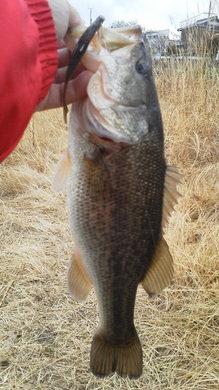 野池で釣れるジャスターフィッシュ.jpg