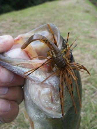 野池で釣れるリグ 10月.JPG