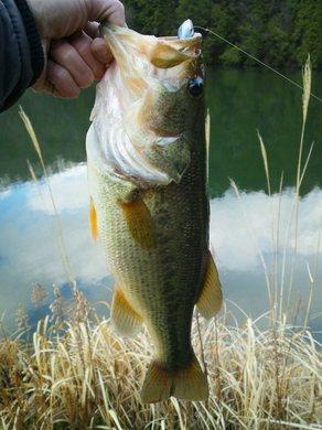 野池で釣れるワッキー.JPG