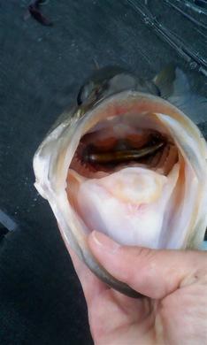 釣れるカラー コアユで52cm.jpg